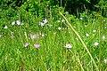 Scorzonera purpurea (8402490879).jpg
