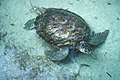 Sea Turtle, NPSPhoto (5) (9257769488).jpg