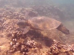 Ficheru:Sea Turtle.ogv