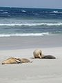 Seals in South Australia (3406832100).jpg