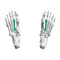 Second metatarsal bone04 inferior view.png