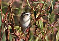 Sedge warbler, Acrocephalus schoenobaenus. at Marakele National Park, Limpopo, South Africa (25885593376).jpg