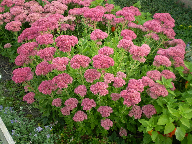 File sedum spectabile brillant 0 0 wikimedia commons for Plante a suspendre exterieur