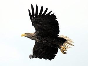 Archipelago National Park - The white-tailed eagle is the symbol of the Archipelago National Park