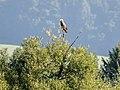 Seeadler (10) (34900653651).jpg