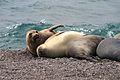 Seeelefanten Halbinsel Valdes.jpg