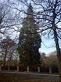 Sekvojovec obrovský (Sequoiadendron giganteum).jpg