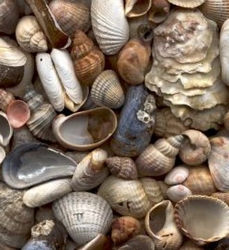 Seashell - Hand-picked molluscan seashells (bivalves and gastropods) from the beach at Clacton on Sea in England