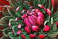 Semi-Kaktus-Dahlie Black Jack 4.jpg