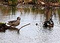 Seney National Wildlife Refuge - Wildlife (9705477132).jpg