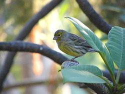 Serinus canaria - Canary - Wild.jpg