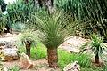 Ses Salines - Botanicactus - Dasylirion serratifolium 04 ies.jpg