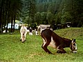 Several donkeys (Equus asinus) grazing.jpg