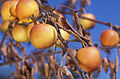 Severe fire blight infection on apples.jpg
