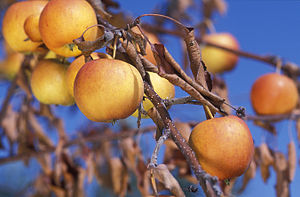 """Fire blight - Gala apple branch with """"scorched"""" leaves after a severe fire blight infection."""