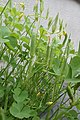 Sheath of Oxalis corniculata P5261565 02.jpg