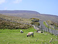 Sheep - Countryside of County Mayo.jpg