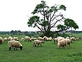 Sheep Grazing, Allscott, Shropshire - geograph.org.uk - 428335.jpg