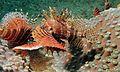 Short-fin Turkeyfish (Dendrochirus brachypterus) (6059718024).jpg