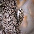 Short-toed treecreeper (49387716763).jpg