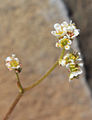 Sierra saxifrage Saxifraga aprica close.jpg