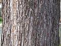 Silver-maple-bark.jpg