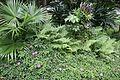 Singapore Rhododendron (Melastoma malabathricum) (2666185508).jpg