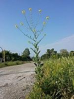 Sisymbrium loeselii sl2.jpg