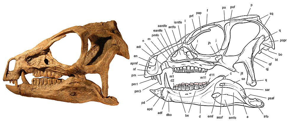 Skull of Heterodontosaurus