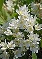 Slender Deutzia Deutzia gracilis 'Nikko' Flower Cluster 2000px.jpg