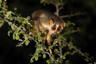 Gray slender loris Species of primate