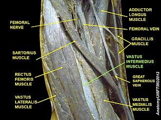 Vastus intermedius muscle - Image: Slide 7CCCC