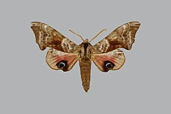 Smerinthus tokyonis BMNHE813673 male up.jpg