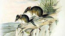 Sminthopsis crassicaudata - Gould.jpg