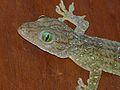 Smith's Green-eyed Gecko (Gekko smithii) (8074311303).jpg