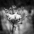 Snow flower - panoramio.jpg