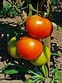 Solanum lycopersicum 003.JPG