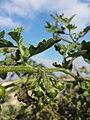 Solanum nitidibaccatum sl69.jpg