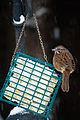 Song Sparrow on suet Seattle 2008.jpg