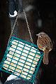 Song Sparrow on suet Seattle 2008.jpg