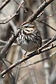 Song sparrow at Missisquoi National Wildlife Refuge (8676165934).jpg