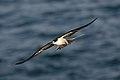 Sooty Tern (Onychoprion fuscatus) (37276956514).jpg
