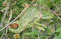South Asian Chamaeleon (Chamaeleo zeylanicus) W IMG 1827.jpg