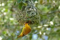 Southern Masked Weaver (Ploceus velatus) male on nest (16462981205).jpg