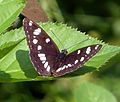 Southern White Admiral. Limenitis reducta - Flickr - gailhampshire.jpg