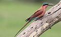 Southern carmine bee-eater, Merops nubicoides, Savuti marsh, Chobe National Park, Botswana (31650333053).jpg