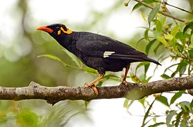 Southern hill myna (Gracula indica) on a ficus tree in anaimalai hills DSC 2662.jpg