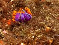 Spanish shawl, Flabellina iodinea - mating pair.jpg