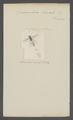 Sphaerophoria - Print - Iconographia Zoologica - Special Collections University of Amsterdam - UBAINV0274 039 02 0087.tif