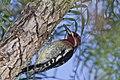 Sphyrapicus ruber -El Chorro Regional Park, San Luis Obispo County, California, USA-8 (2).jpg